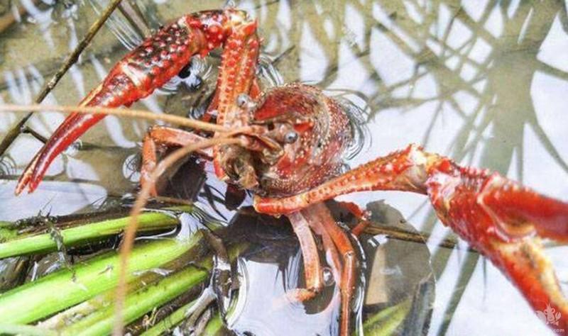 养殖小龙虾常见的六大雷区,新手切记不要踩!