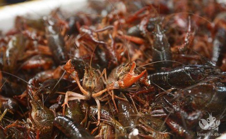 小龙虾养殖失败的原因?