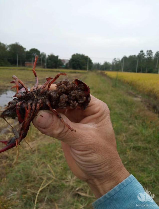 小龙虾人工诱导繁殖方法我国小龙虾养殖户一直釆用的主要的人工繁殖方法