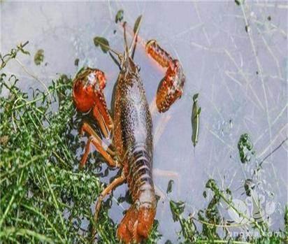 为什么虾池底质不好,养殖户如何处理?