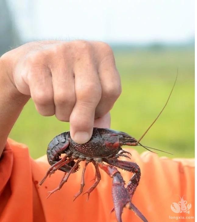 小龙虾养殖过程中,肥水工作很重要