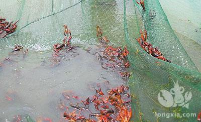 养虾需要好苗,虾苗质量分析