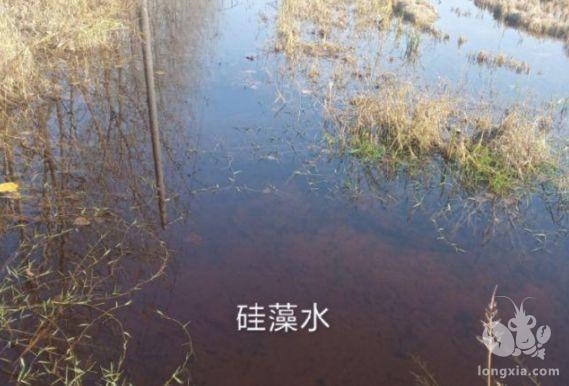 青苔'克星'硅藻水如何培育