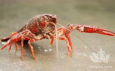 五月下旬小龙虾和螃蟹要具备的水草知识,现在不知道夏季累弯腰!