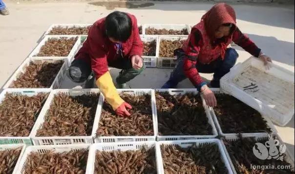 龙虾产量翻倍的重要环节