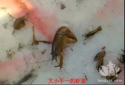 虾苗出现差异化的危害