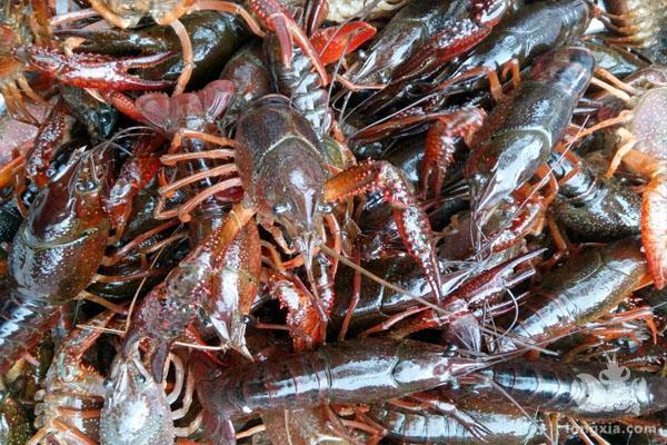 稻虾种养有望成为最具发展潜力的小龙虾养殖模式