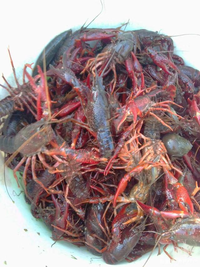 小龙虾养殖嬴利关键