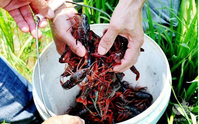 小型湖泊小龙虾生态养殖技术