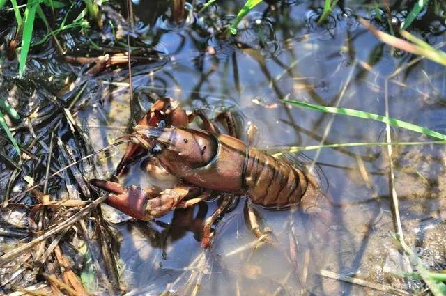 小龙虾频繁上草是在释放什么信号?