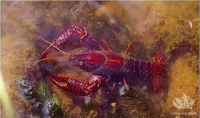 小龙虾如何做到高产?