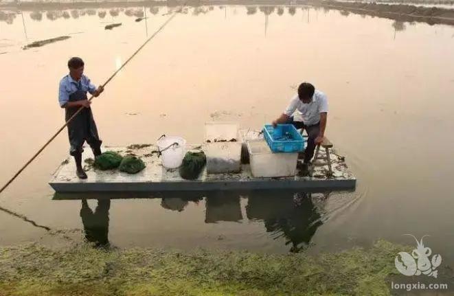 一边加大小龙虾的捕捞量,一边打捞青苔,最后还要控制水质恶化