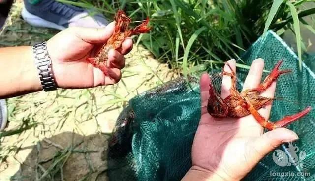 小龙虾家庭小型无土养殖,投入少,管理简单,一年可以捕捞9次