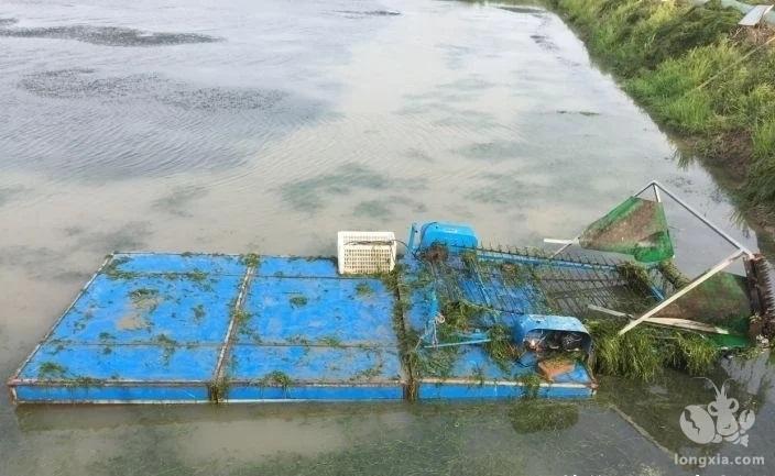 近期小龙虾养殖塘头管理应注意哪些?