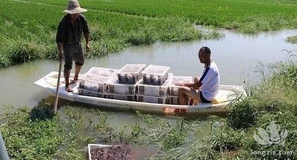过来人的经验, 农村创业小龙虾养殖五大注意事项