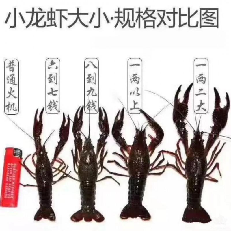 小龙虾生长周期需要多久?