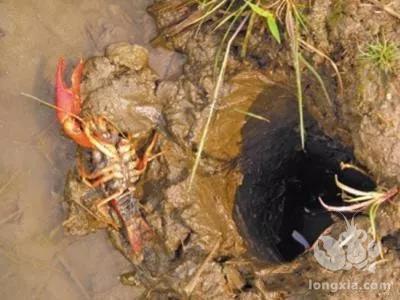 小龙虾养殖需要干塘吗?