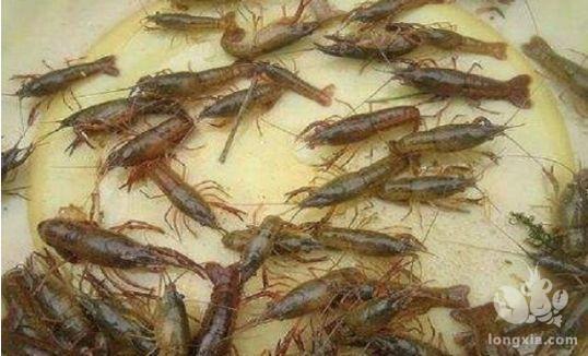 3月中旬,池塘养殖龙虾最易出现哪几个问题?