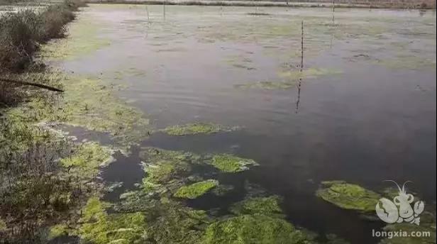 龙虾塘水质变黑不容忽视!