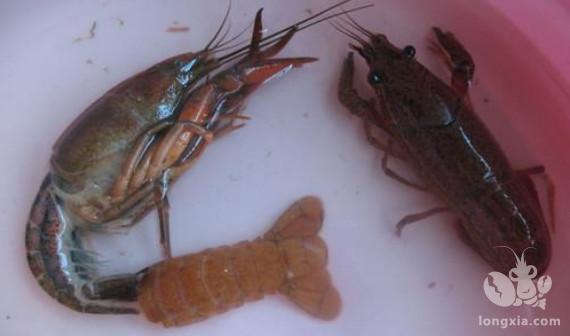 养殖户需要给小龙虾补钙吗?