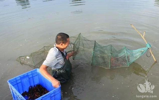 池塘养殖小龙虾如何高产?高产养殖技术全解析