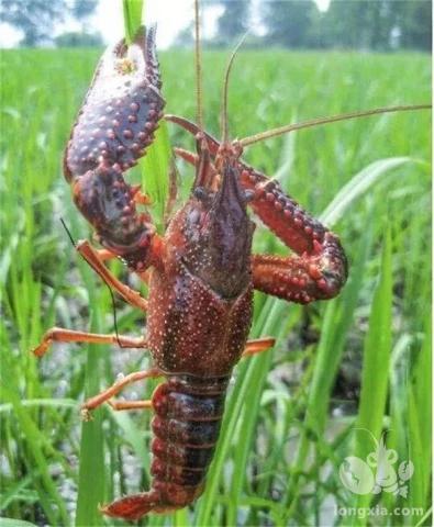 小龙虾健康养殖关键点探讨