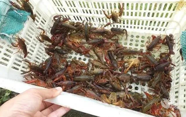 有哪些方法可以估测出塘口龙虾存量?