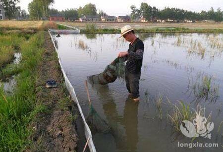 小龙虾的养殖池塘深好还是浅好