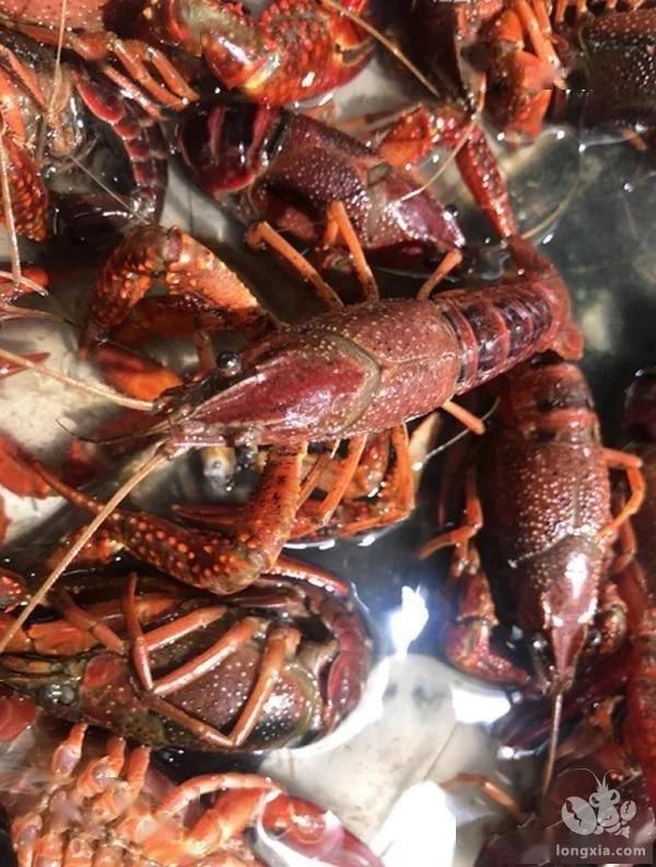 为什么说室内养殖小龙虾是骗局?