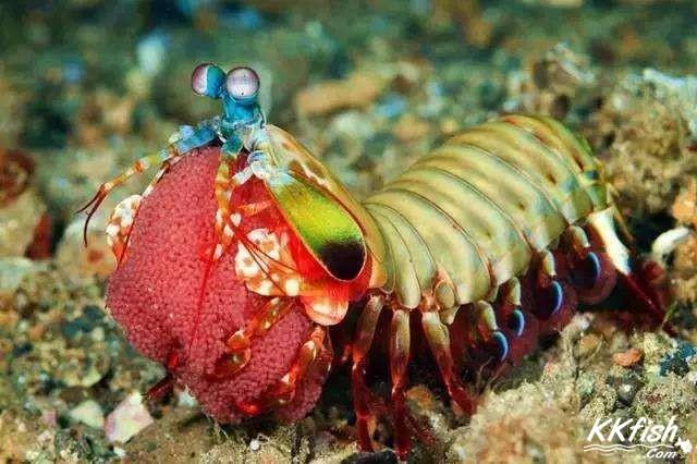 螳螂虾是宠物还是害虫?
