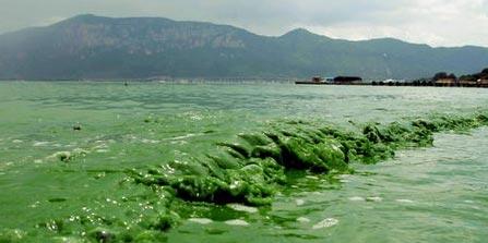 蓝藻 的介绍及个人治理办法