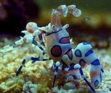 夏威夷海星虾