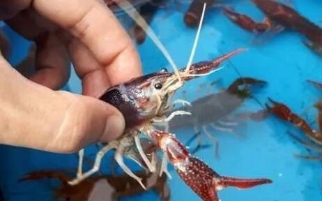 小龙虾价格暴跌4天掉了16元一斤?