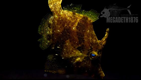 中华单棘鲀 Monacanthus chinensis