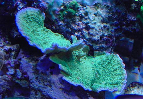 蔷薇珊瑚(叶盘形)