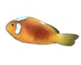 白帽小丑鱼
