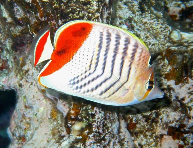 红海红尾蝶