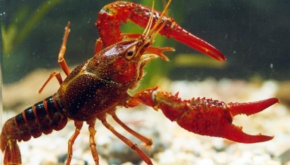 为什么说龙虾养殖10有9亏?龙虾养殖有哪些风险?
