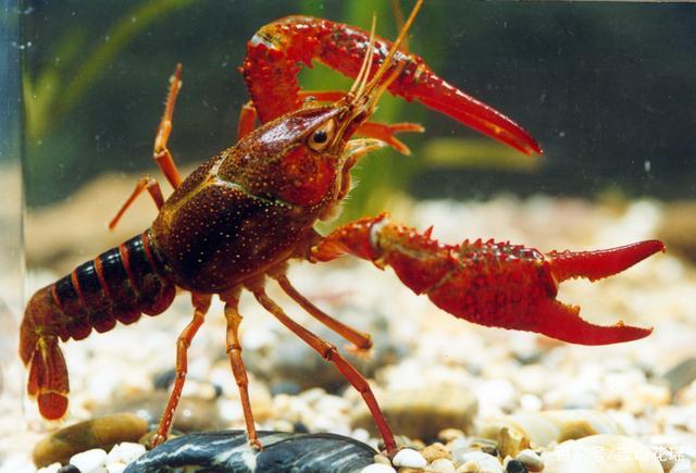 江苏淮安鱼种塘与藕塘协作养殖小龙虾优点多