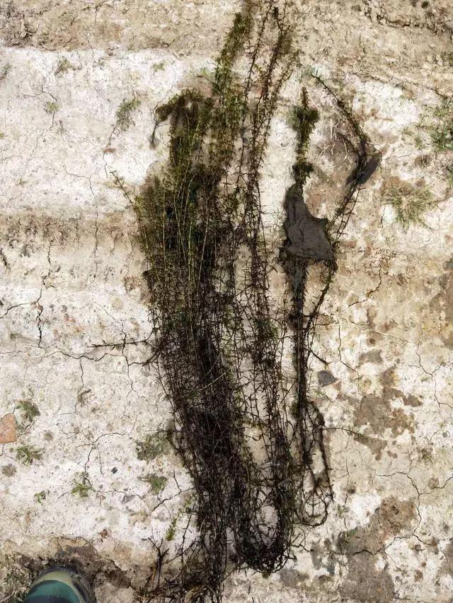 四月份小龙虾池塘如何种草?如何搭配水草?