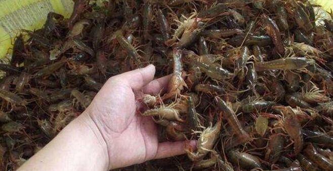 青壳小龙虾培育技术浅谈