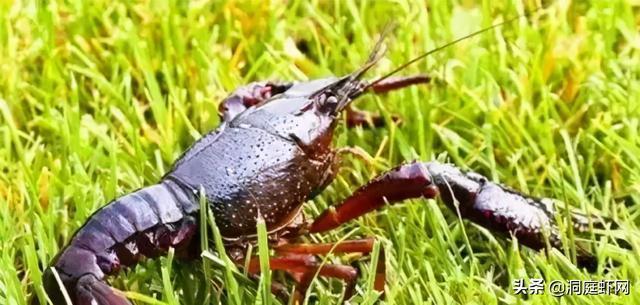 商品小龙虾健康生态养殖技术
