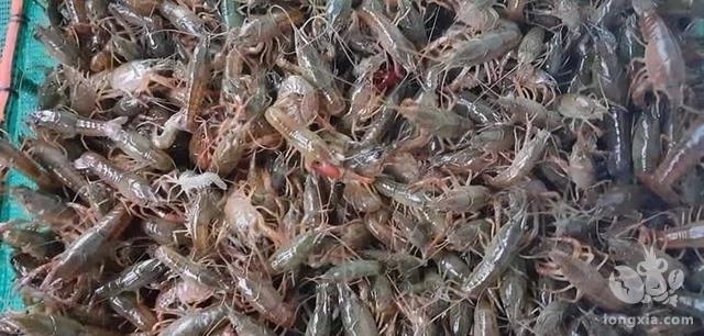 稻田养殖小龙虾苗种土池培育技术
