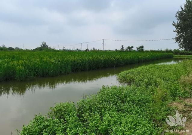 江苏盱眙深水稻与小龙虾共生模式分析