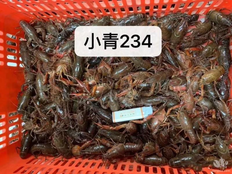 小龙虾苗为什么有青有红?