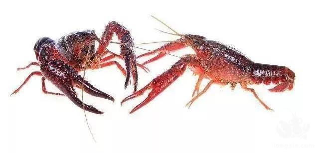 养殖小龙虾四月应该做点什么呢?