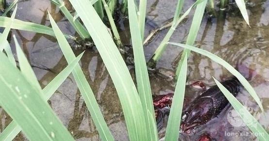 龙虾养殖: 每亩利润超两千, 稻田轮养小龙虾范例