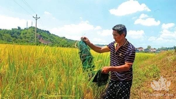 稻田养殖小龙虾苗种稻田培育技术