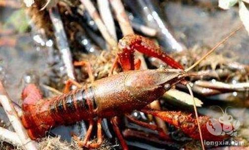 小龙虾养殖技术:小龙虾的常见病害防治