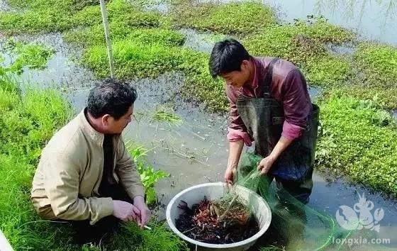 小龙虾养殖模式及盈利模式